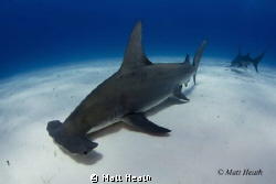 Great Hammerhead. The hardest shark I have attempted to p... by Matt Heath 